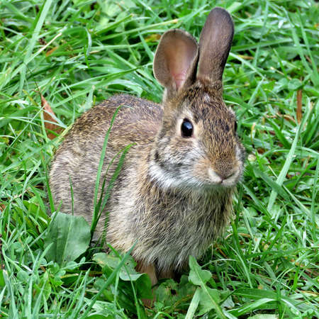 leporidae: Eastern cottontail rabbit in forest of Thornhill, Canada, September 29, 2017