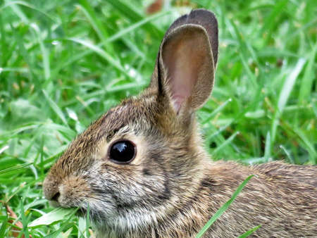 leporidae: Portrait of the eastern cottontail rabbit in forest of Thornhill, Canada, September 29, 2017 Stock Photo