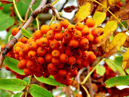 Rowanberry branch in forest of Thornhill, Canada, September 29, 2017