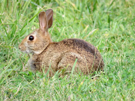 leporidae: Eastern cottontail rabbit on the grass in forest of Thornhill, Canada, September 15, 2017 Stock Photo