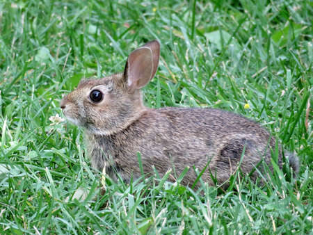 leporidae: Eastern cottontail rabbit in forest of Thornhill, Canada, August 21, 2017