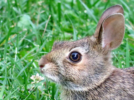 leporidae: Portrait of eastern cottontail rabbit in forest of Thornhill, Canada, August 21, 2017 Stock Photo
