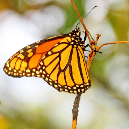 The Monarch Butterfly on a tree in forest of Thornhill, Canada, September 26, 2017 Stock Photo