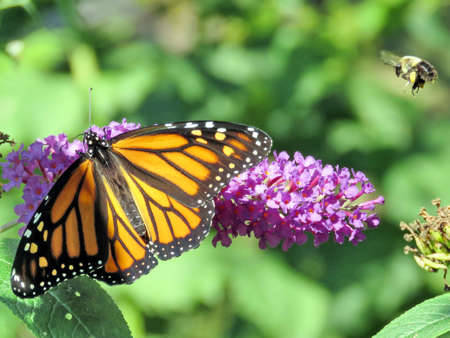 Bee and Monarch Butterfly on a buddleja flower in High Park of Toronto, Canada, September 21, 2017