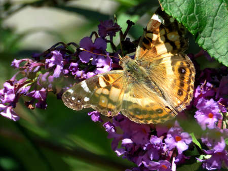 Red Admiral Butterfly on a buddleja flower in High Park of Toronto, Canada, September 21, 2017 Stock Photo
