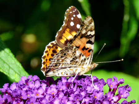 The Red Admiral Butterfly on a buddleja flower in High Park of Toronto, Canada, September 21, 2017