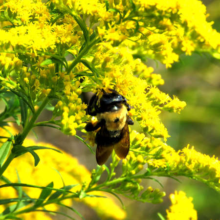 The bumblebee on the Goldenrod flower in forest of Thorn-hill, Canada