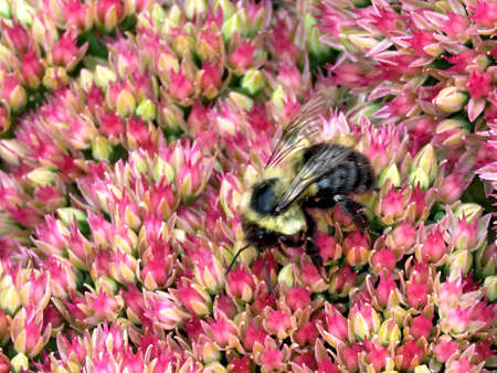 Bee on a Sedum flower in Thornhill, Canada, September 2, 2017