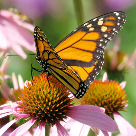 The Monarch butterfly on the purple coneflower on shore of the Lake Ontario in Toronto, Canada, Stock Photo