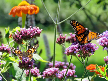 Monarch and Red Cardinal butterflies on verbena flower on shore of the Lake Ontario in Toronto, Canada, September 12, 2017  Stock Photo