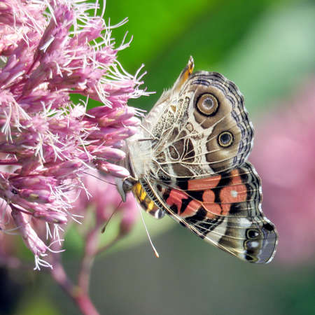 Red Admira butterfly on Eupatorium cannabinum flower on shore of the Lake Ontario in Toronto, Canada, September 12, 2017