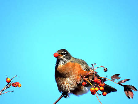 American Robin on a rowanberry branch in forest of Thornhill, Canada, November 10, 2017