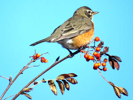 American Robin on rowanberry branch in forest of Thornhill, Canada, November 10, 2017 Stock Photo
