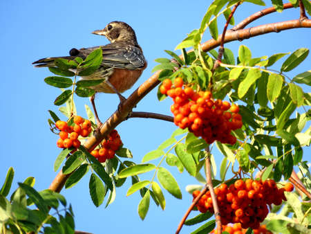 American Robin on rowanberry tree in forest of Thornhill, August 26, 2017 Banco de Imagens