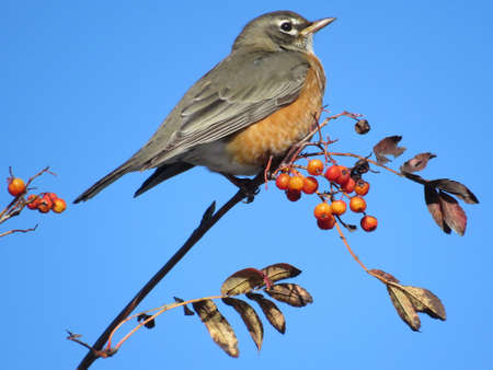 American Robin on the rowanberry branch in forest of Thornhill, Canada, November 10, 2017