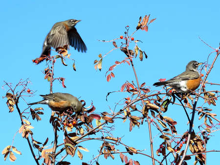 American Robins on rowanberry tree in forest of Thornhill, Canada, November 10, 2017