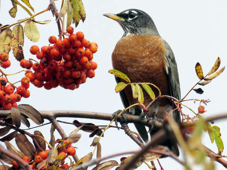 The American Robin on a rowanberry branch in forest of Thornhill, Canada, November 3, 2017