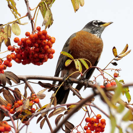The American Robin on a rowanberry tree in forest of Thornhill, Canada, November 3, 2017