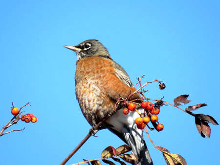 The American Robin on rowanberry branch in forest of Thornhill, Canada, November 10, 2017