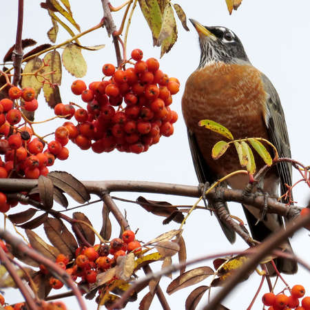 The American Robin on rowanberry tree in forest of Thornhill, Canada, November 3, 2017
