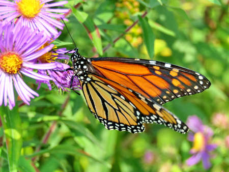 Monarch butterfly on purple wild aster in forest of Thornhill, Canada, September 17, 2017