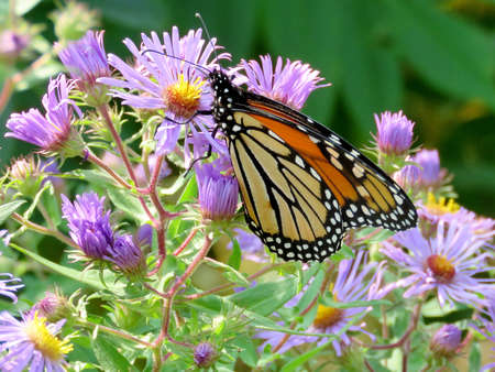 Monarch butterfly on purple wild asters in forest of Thornhill, Canada, September 17, 2017