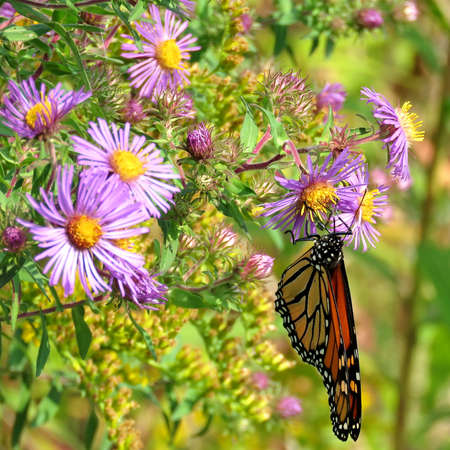 The Monarch butterfly on purple wild asters in forest of Thornhill, Canada, September 17, 2017 Stock Photo
