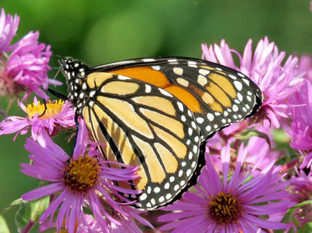 Monarch butterfly on a purple wild aster in High Park of Toronto, Canada, October 10, 2017 Stock fotó