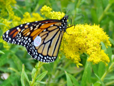 Tagged Monarch butterfly on Goldenrod flower on shore of the Lake Ontario in Toronto, Canada, September 16, 2014