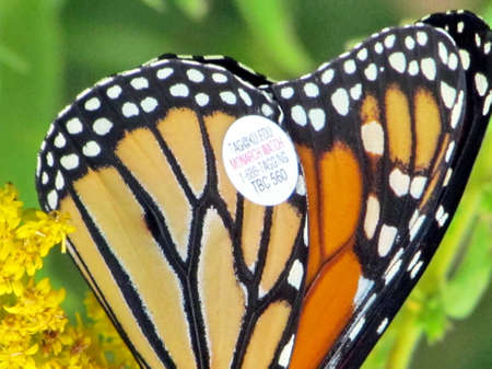 Tagged wing of Monarch butterfly on Goldenrod flower on shore of the Lake Ontario in Toronto, Canada, September 16, 2014 Stock fotó