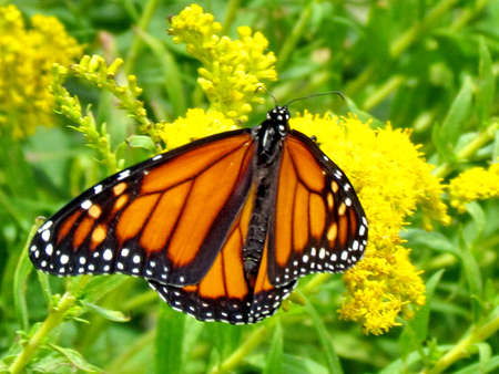 education: The Monarch butterfly on a Goldenrod flower on shore of the Lake Ontario in Toronto, Canada, September 16, 2014 Stock Photo