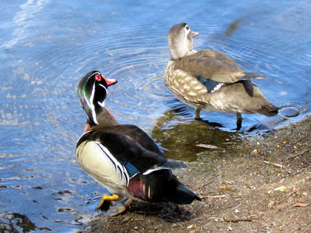 Pair of Carolina ducks on a pond in High Park of Toronto, Canada, May 6, 2014