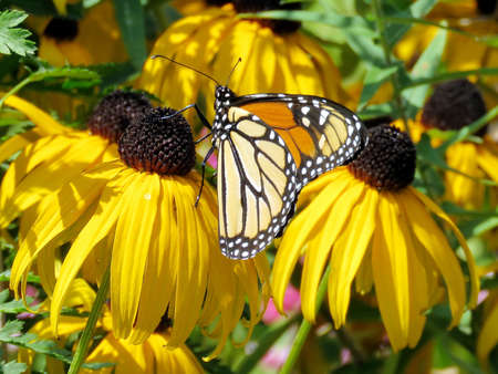 Monarch butterfly on a black eyed susan flower in High Park of Toronto, Canada, August 30, 2017