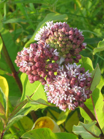 Milkweed flowers (Asclepias syriaca) in Darlington Provincial Park on the northern shore of Lake Ontario, Canada Stock Photo