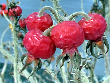 Rosehip fruits in Thornhill, Canada, February 1, 2012