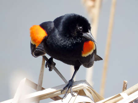 The Red-winged Blackbird in Thornhill, Canada, April 28, 2017 Stock Photo