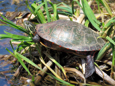 Painted Turtle on the Oakbank Pond in Thornhill, Canada, May 23, 2016 Stock Photo