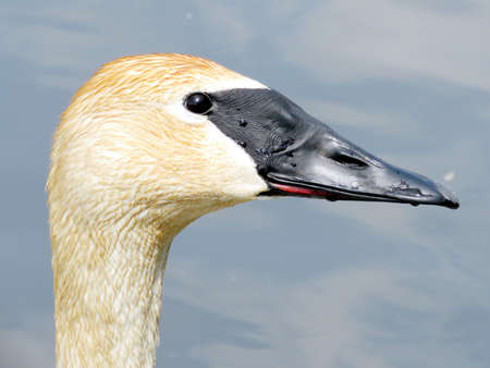 Portrait of a trumpeter swan on the Oakbank Pond in Thornhill, Canada Stock Photo