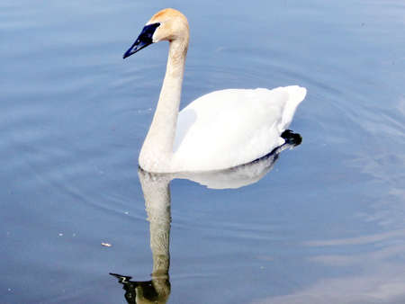 The trumpeter swan swimming on the Oakbank Pond in Thornhill, Canada, May 21, 2016