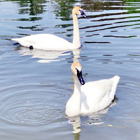 The trumpeter swans on the Oakbank Pond in Thornhill, Canada, May 21, 2016