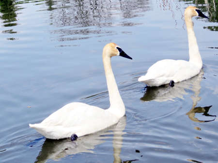 Trumpeter swans on the Oakbank Pond in Thornhill, Canada, May 21, 2016