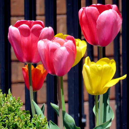 Beautiful tulips in Thornhill, Canada Stock Photo
