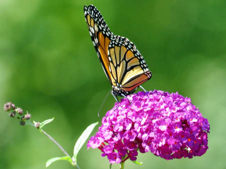Monarch on a buddleja flower in garden on a shore of the Lake