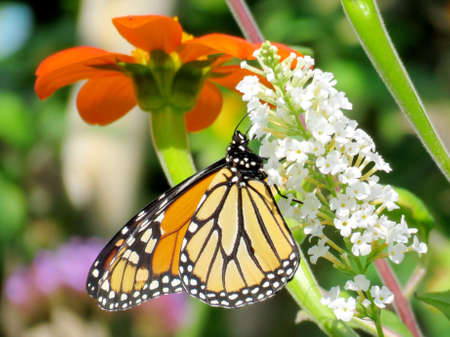 Monarch on a white buddleja flower in garden on a shore of the Lake Ontario