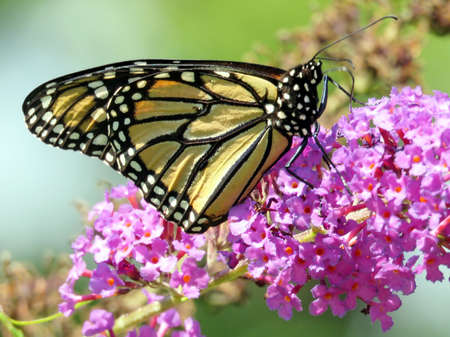 Monarch on buddleja flower in garden on a shore of the Lake Ontario in Toronto, Canada, August 30, 2016