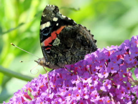 Red Admiral on buddleja flower in garden on a shore of the Lake Ontario in Toronto, Canada, August 30, 2016 Banco de Imagens