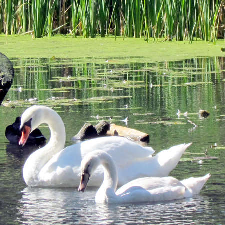 Cygnet and adult mute swan on a pond in High Park of Toronto, Canada.