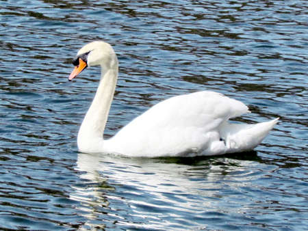 Mute swan on a pond in High Park of Toronto, Canada.