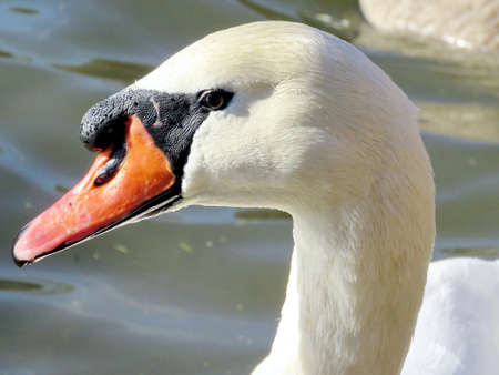 Portrait of a mute swan on a pond in High Park of Toronto, Canada, November 28, 2017 Stock Photo