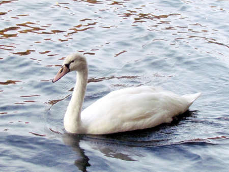 Young mute swan swimming on a pond in High Park of Toronto, Canada, November 4, 2013 Stock Photo